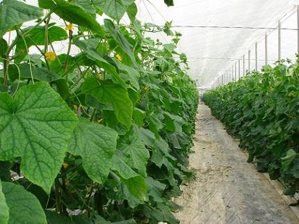 Теплица с огурцами: как высадить и получить хороший урожай